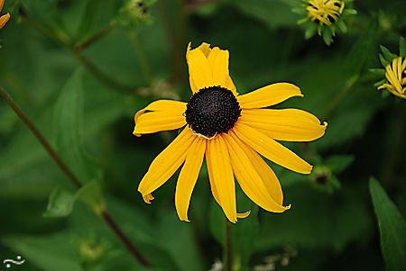 Black eyed susan